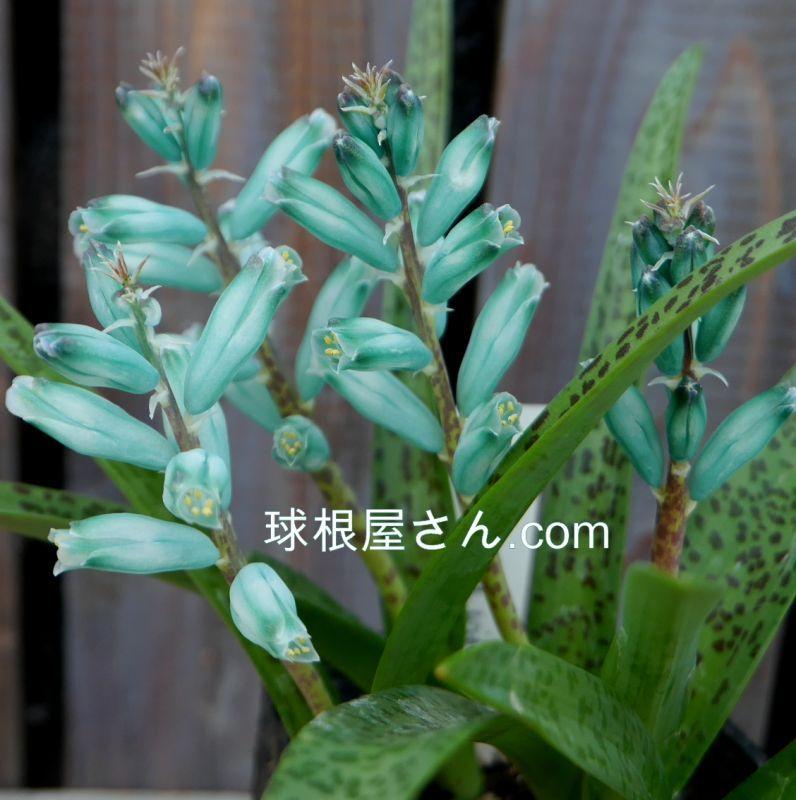 ラケナリア ヴィリディフローラが咲いてきました!