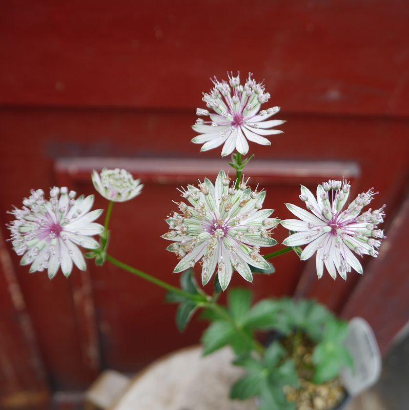 宿根草は、花盛り*