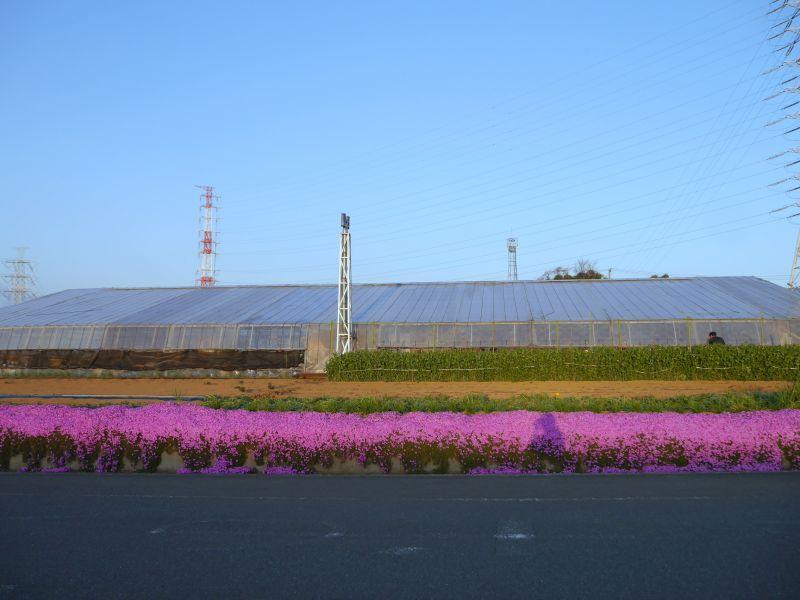 農園前のシバザクラ、今が見頃です!