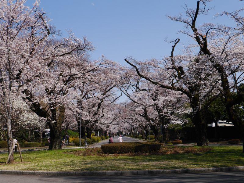㊗️桜満開🌸